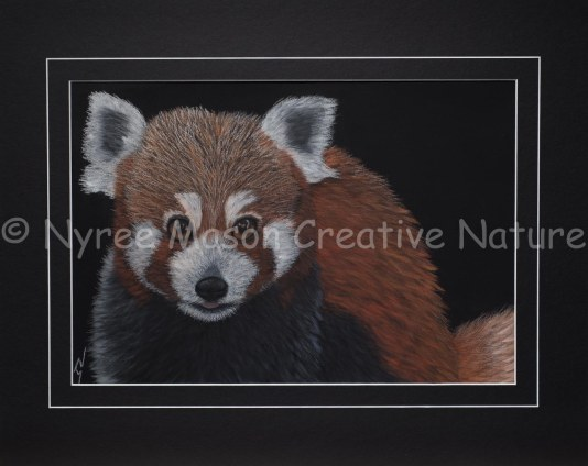 """""""Pete"""" the Red Panda: Pastel on A3 Paper; Framed; 54cm x 43cm. (SOLD). Cards available."""