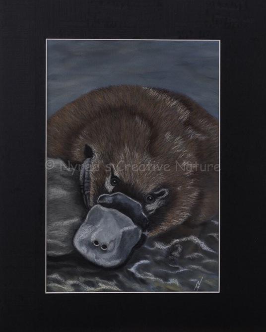 """Ambrose"" the Platypus:Pastel on A3 paper; Framed; 43.5cm x 53.5cm ($450).2nd Prize, Pastels, Queanbeyan-Palerang Regional Council Exhibition, QAS, 2016.Cards & limited edition Giclée Prints available."