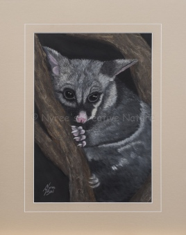 """""""Twinkle-Toes"""" the Brushtail Possum:Pastel on A3 Paper. (SOLD). 1st Prize, Pastels, Queanbeyan Leagues Club Exhibition, QAS, 2016.Cards & limited edition Giclée Prints available."""