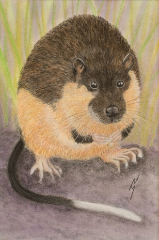"""Nibbler"" the Rakali (a.k.a. Water Rat). Pastel on A4 Paper; Framed; 32cm x 42cm ($220)."