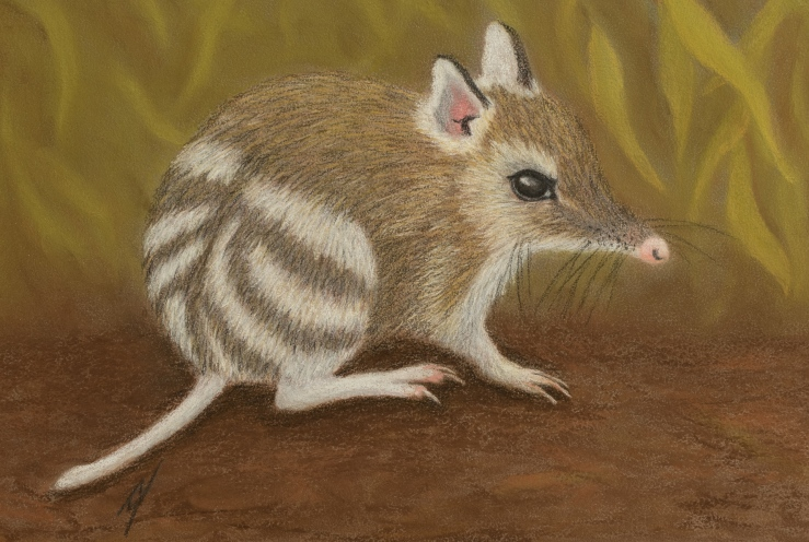 """""""Tim Tam"""" the Eastern Banded Bandicoot. Pastel on A4 Paper; Framed; 43cm x 33cm ($250)."""