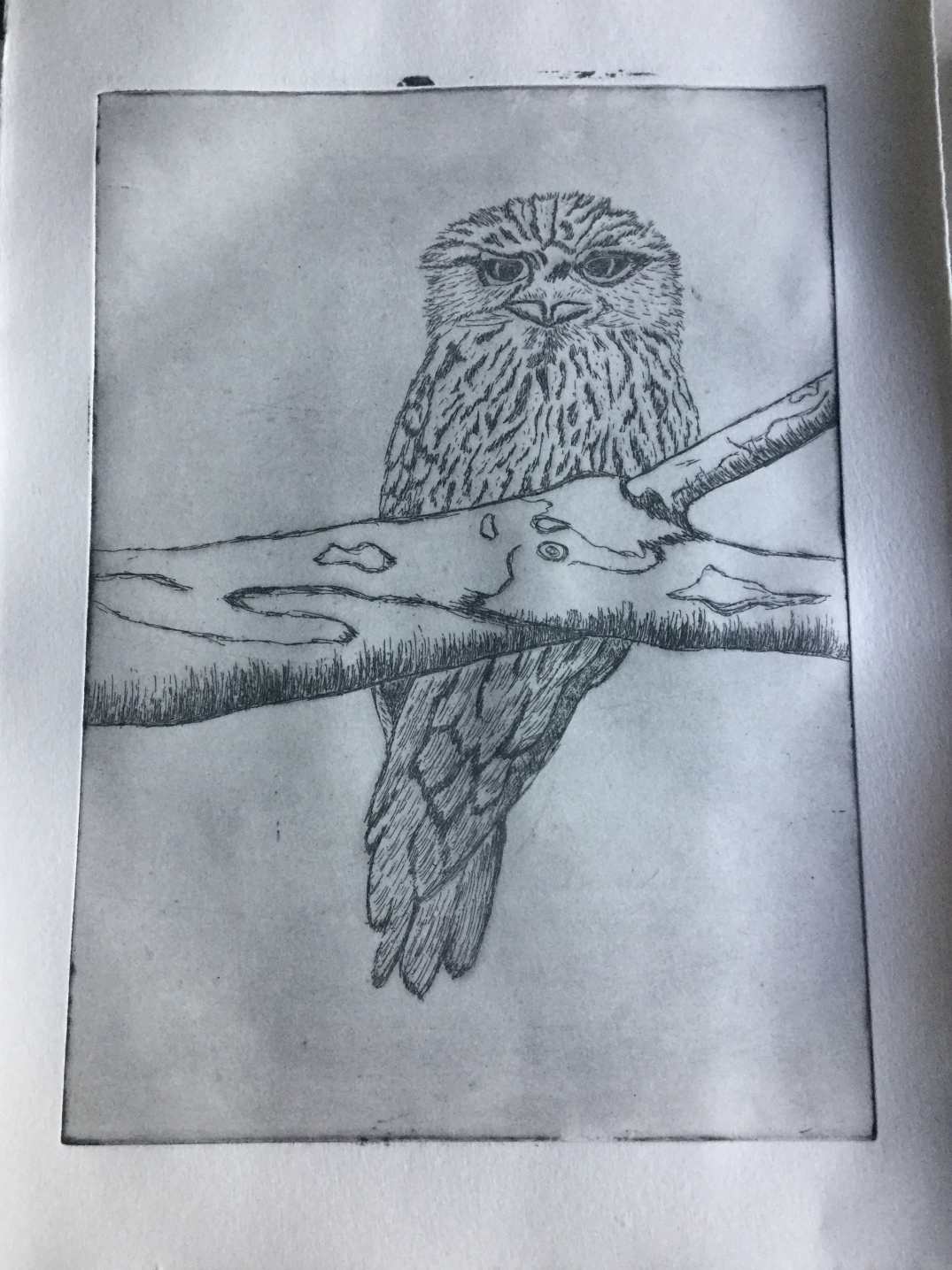 Tawny Frog-Mouth Etching