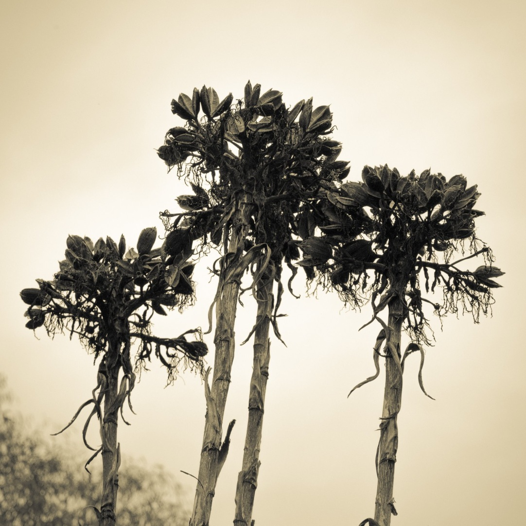 Gymea Lily Seed Pods